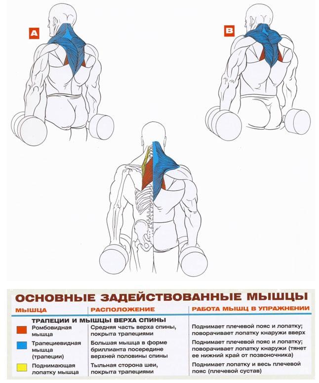 Шраги с гантелями - техника выполнения упражнения, как правильно выполнять упражнение